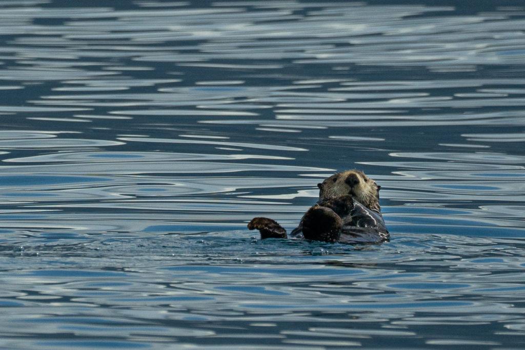 Sea otter on the Prince Edward Sound