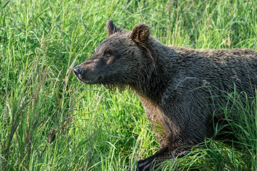 Wild Alaskan grizzly bear