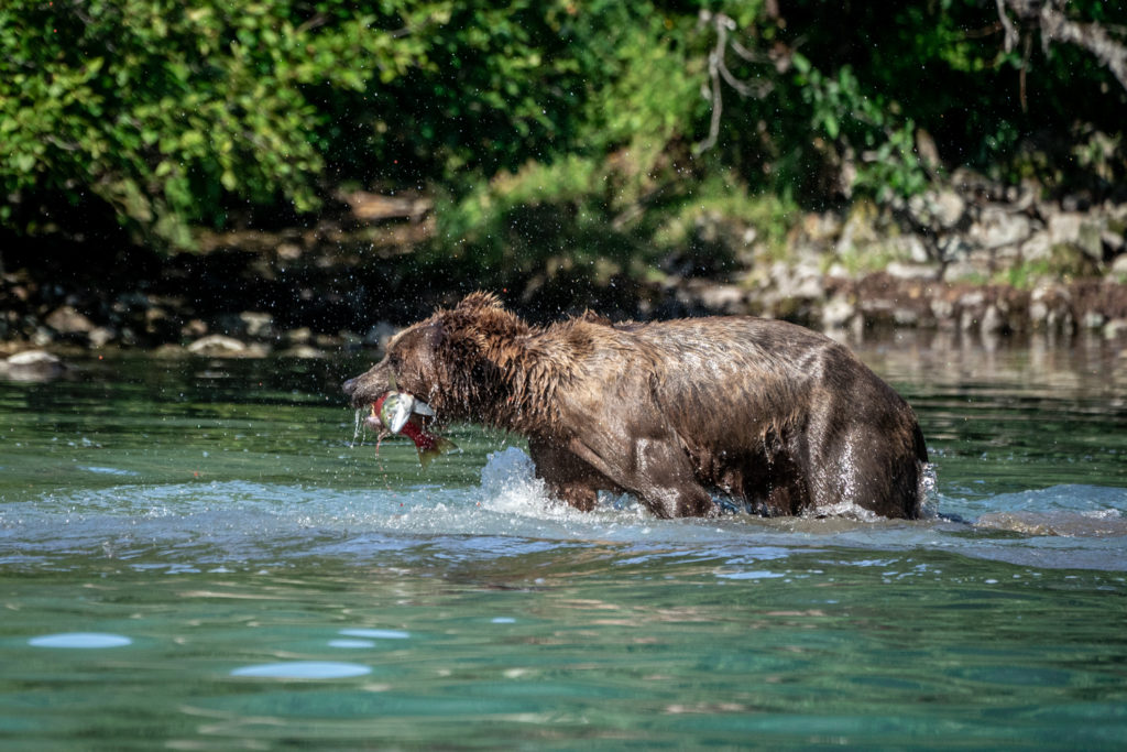 Wild grizzly bear catches sockeye salmon at Lake Clark National Park
