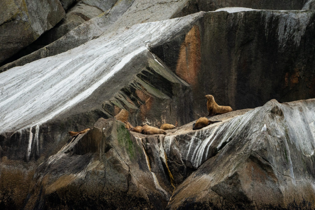 Stellar sea lions on a wildlife cruise in Kenai Fjords National Park