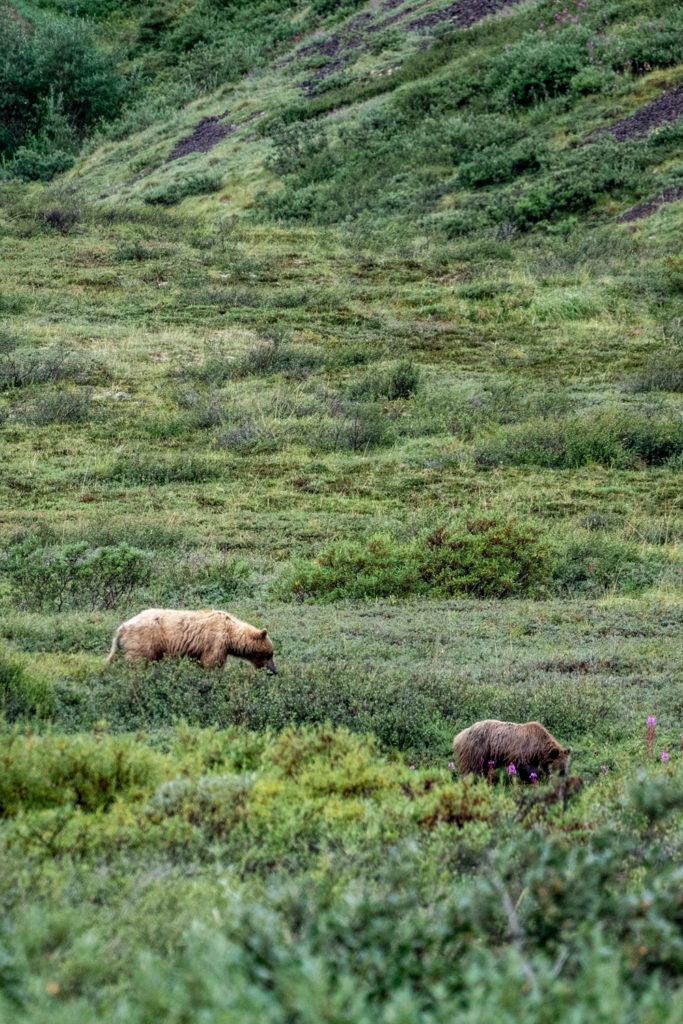 Grizzly bears along Denali Park Road