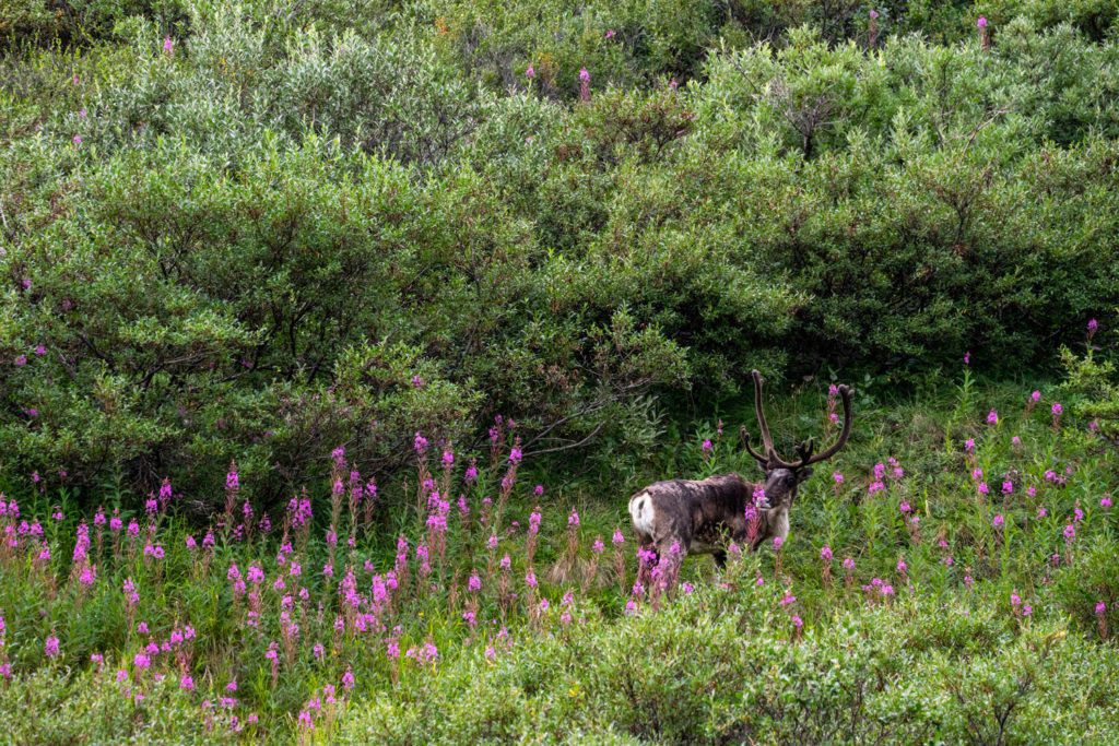 Caribou and Fireweed on Denali Park Road