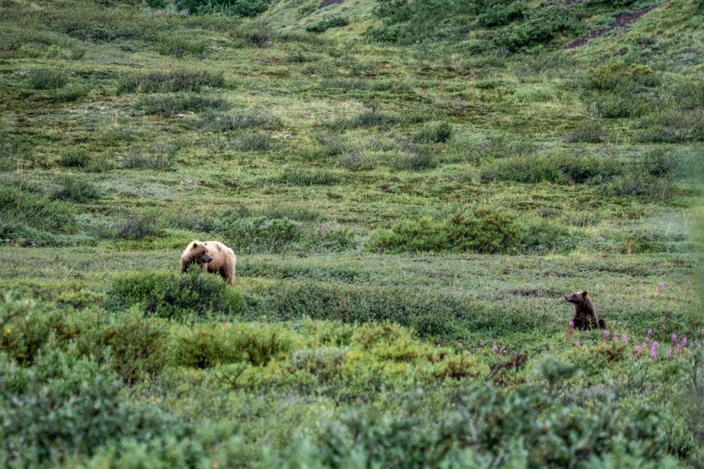 Wild Alaskan brown bears in Denali National Park