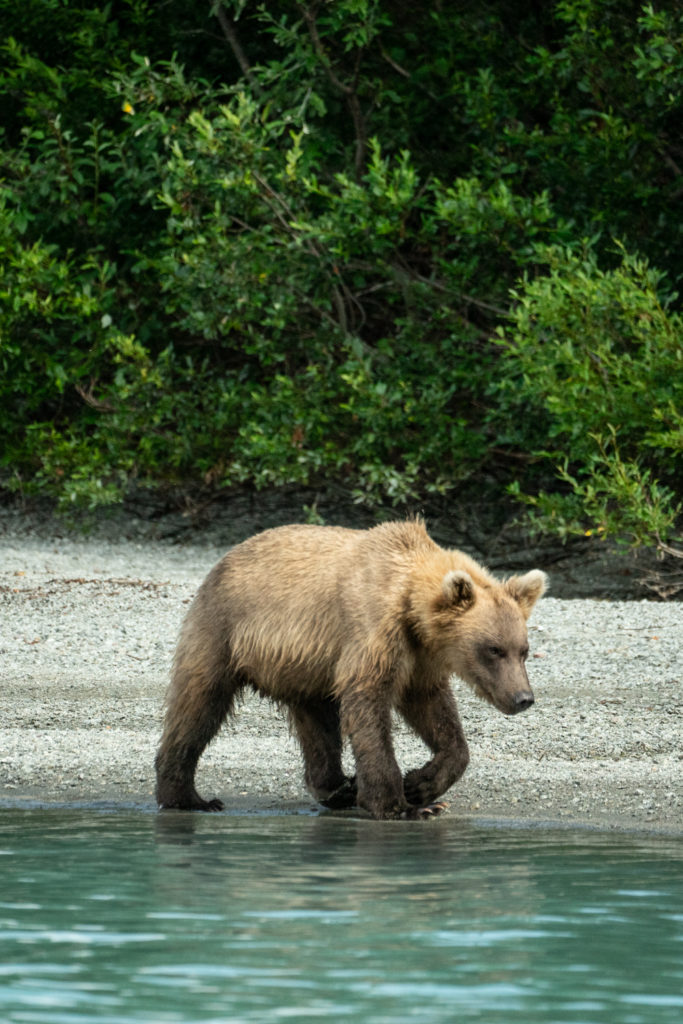 Wild Alaskan Grizzly Bear Lake Clark National Park