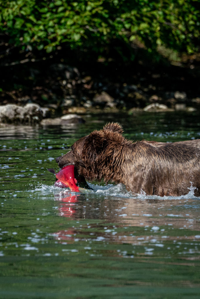 Wild Alaskan brown bear catching sockeye salmon in Lake Clark National Park