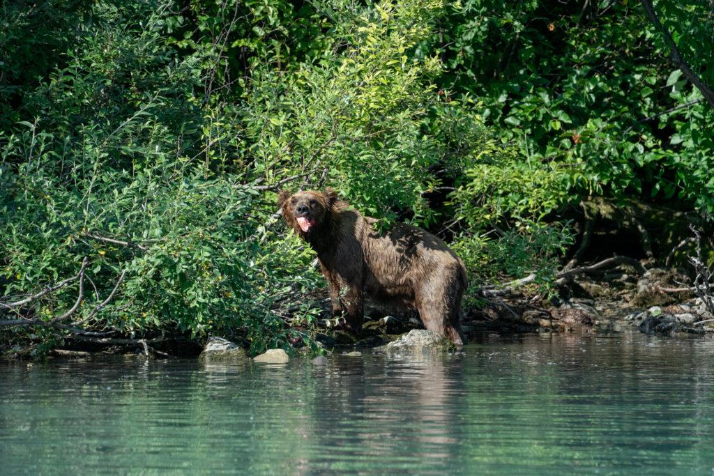 Wild bear eating fresh salmon in Lake Clark National Park